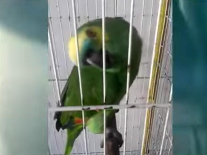 Ролик с попугаем, исполняющим песню Эминема и Рианны The Monster всего за сутки набрал более 400 тысяч просмотров