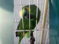 Попугай, исполнивший кавер на The Monster Рианны, взорвал интернет (ВИДЕО)