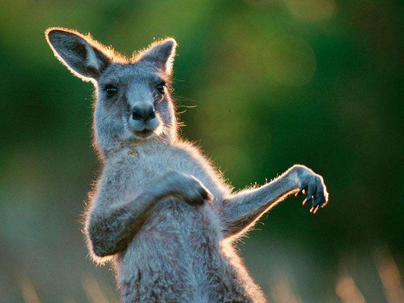 В Детройте комик извинился за принуждение кенгуру к исполнению рэпа