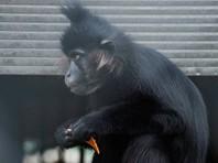 В Свердловской области цирк-шапито объявил награду за обезьяну-актрису, сбежавшую от своего партнера по шоу (ВИДЕО)