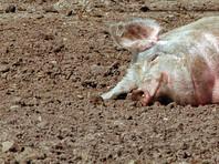 В Перми антисемиты закопали голову свиньи на участке, выделенном под строительство религиозного центра еврейской общины