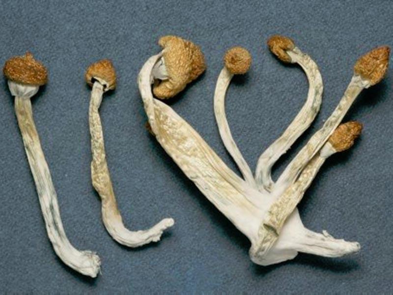 Ученые из американского Университета Джона Хопкинса заручились согласием двух десятков представителей разных религий поучаствовать в исследовании, во время которого им дадут две мощные дозы псилоцибина - действующего вещества галлюциногенных грибов