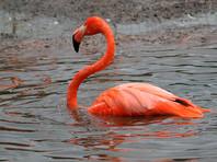 """Волгоградские монахи приютят фламинго со """"сбившимся навигатором"""""""
