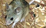 Найдено неизвестные науке животное - Кипрская мышь