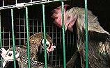 5 очагов птичьего гриппа под Москвой: возможно заражение