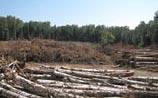 СМИ: вырубка Химкинского леса приостановлена. Оплошал пресс-секретарь Путина