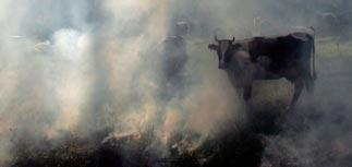 Жара в России спровоцировала массовый забой скота