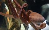 В Германии умер осьминог-предсказатель Пауль