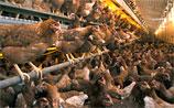 """Власти ЕС: страхи по поводу диоксина в немецкой курятине  - """"преувеличение"""""""