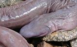"""В Бразилии нашли неизвестную науке """"змею"""", похожую на пенис"""