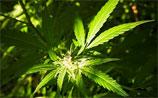 В Ливане задумались над легализацией марихуаны