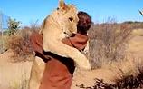"""Львица, которая любит """"обнимашки"""": защитник животных стал объектом любви огромной хищницы"""