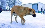 """В городах России находят """"кладбища собак"""", возможно, отравленных догхантерами"""