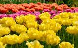 """Власти РФ увидели """"угрозу"""" в тюльпанах из Голландии и приготовились ввести на них запрет"""