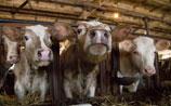 Медведев предложил ограничить число кур и коров в хозяйствах россиян