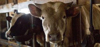 Ткачев подтвердил намерение ограничить поголовье скота и птицы в хозяйствах россиян